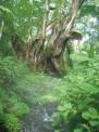 83_17樹齢1000年カツラ