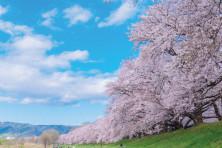 116_37背割堤の桜